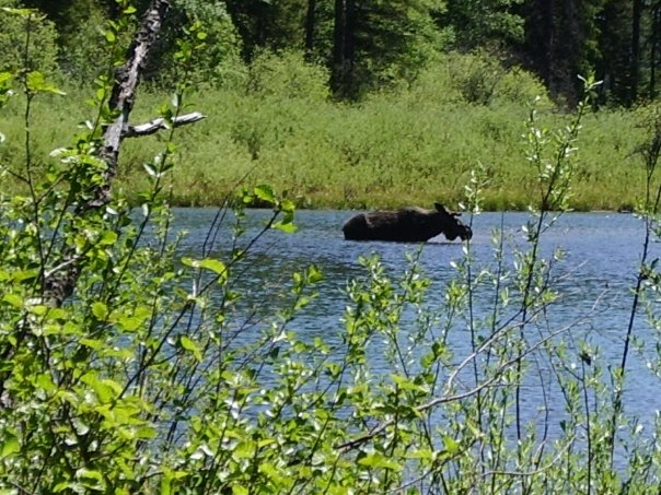 Moose at Spring Creek